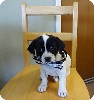 Beagle Mix Puppy for adoption in Lathrop, California - Napolean