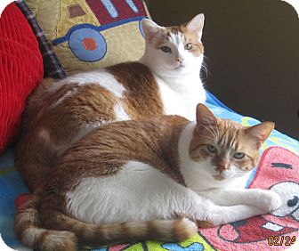 Domestic Shorthair Cat for adoption in Warren, Michigan - Louie (bonded with Linus)