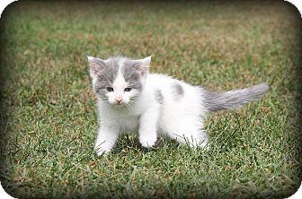 Domestic Shorthair Kitten for adoption in Woodstock, Ontario - Halley