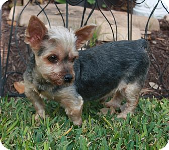 Yorkie, Yorkshire Terrier Dog for adoption in Statewide and National, Texas - Mikey