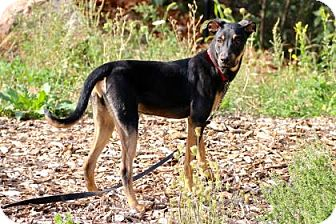 Hound (Unknown Type)/Shepherd (Unknown Type) Mix Dog for adoption in Gloucester, Massachusetts - Bruno