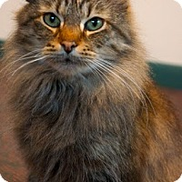 Adopt A Pet :: L Litter - Syrah (Mom) - Williamston, MI