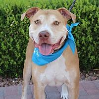 American Pit Bull Terrier Mix Dog for adoption in Las Vegas, Nevada - GRAHAM