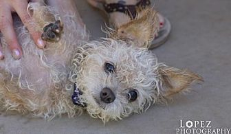Poodle (Miniature) Mix Dog for adoption in Chandler, Arizona - LITTLE JOHN YOUNG AKA MAX