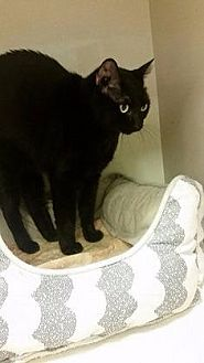 Domestic Shorthair Cat for adoption in Westbury, New York - Mocha