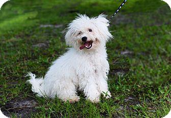 Poodle (Miniature) Dog for adoption in Jupiter, Florida - A