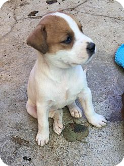 Boxer/Pit Bull Terrier Mix Puppy for adoption in Charlotte, North Carolina - Marty