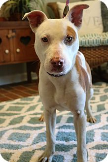 American Pit Bull Terrier/Labrador Retriever Mix Puppy for adoption in Allen Park, Michigan - Waffles