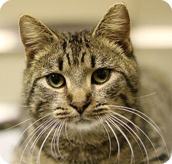 Domestic Shorthair Cat for adoption in Cedartown, Georgia - 34769778