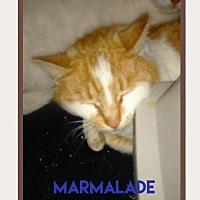 Adopt A Pet :: Marmalade - Brainardsville, NY