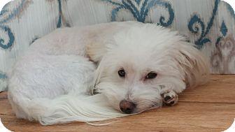 Bichon Frise/Maltese Mix Dog for adoption in Overland Park, Kansas - Sully