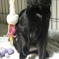 Adopt A Pet :: Little Black - Garden City, MI