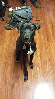 Labrador Retriever/Bull Terrier Mix Dog for adoption in Maryville, Tennessee - Harper Lee