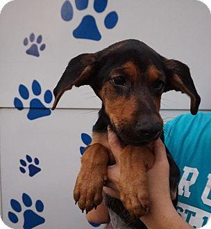 German Shepherd Dog/Redbone Coonhound Mix Puppy for adoption in Oviedo, Florida - Melina