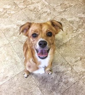 Terrier (Unknown Type, Small)/Spaniel (Unknown Type) Mix Dog for adoption in Chicago, Illinois - Alexi