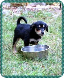 Terrier (Unknown Type, Small) Mix Puppy for adoption in Fredericksburg, Virginia - Expresso