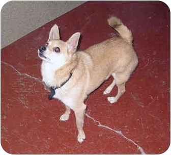 Chihuahua Mix Dog for adoption in Marseilles, Illinois - Yogi