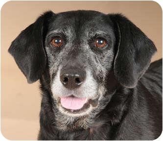 Labrador Retriever/Hound (Unknown Type) Mix Dog for adoption in Palatine, Illinois - Harley
