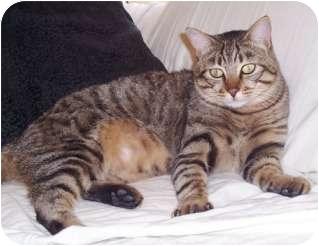 Domestic Shorthair Cat for adoption in Pasadena, California - Sierra