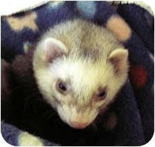 Ferret for adoption in Milton, Massachusetts - Mischief