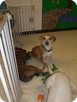 Siberian Husky/Australian Cattle Dog Mix Dog for adoption in Carrollton, Georgia - June