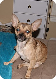 Chihuahua/Pug Mix Dog for adoption in Chicago, Illinois - Bo