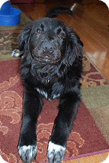 Newfoundland/Retriever (Unknown Type) Mix Puppy for adoption in Naperville, Illinois - Rocco