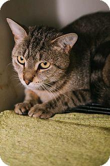Domestic Shorthair Cat for adoption in Livonia, Michigan - Simba