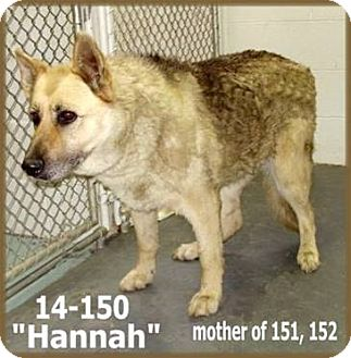 German Shepherd Dog Mix Dog for adoption in Littleton, Colorado - HANNAH Referral