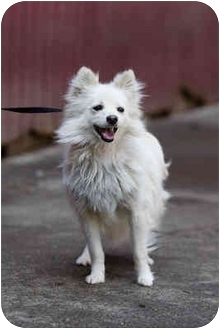 Pomeranian Mix Dog for adoption in Portland, Oregon - Cece