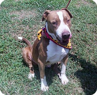 Boxer Mix Dog for adoption in Paducah, Kentucky - Nellie