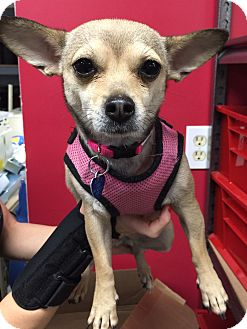 Chihuahua Dog for adoption in Lake Elsinore, California - Willow