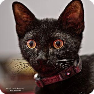 Domestic Shorthair Kitten for adoption in Norman, Oklahoma - Oliver