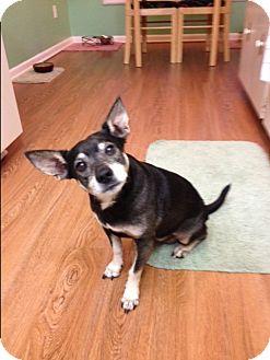 Rat Terrier Mix Dog for adoption in Floral City, Florida - Ben