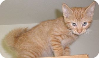 Domestic Shorthair Kitten for adoption in Knoxville, Iowa - Guppy
