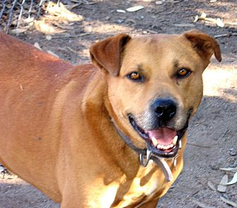 Staffordshire Bull Terrier Mix Dog for adoption in Vista, California - Roc