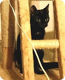 Domestic Shorthair Cat for adoption in Noblesville, Indiana - Harper