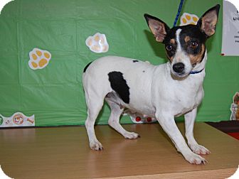 Rat Terrier Mix Dog for adoption in North Judson, Indiana - Anna