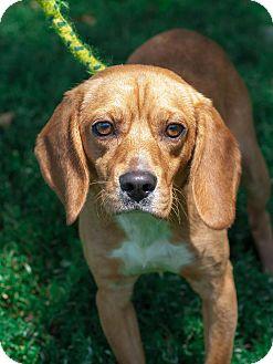 Beagle/Golden Retriever Mix Dog for adoption in Cincinnati, Ohio - Copper: Fairfax