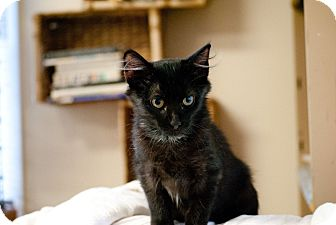 Domestic Longhair Kitten for adoption in Knoxville, Tennessee - Alexa