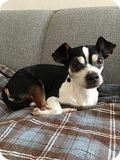 Rat Terrier/Chihuahua Mix Dog for adoption in San Francisco, California - Chaco