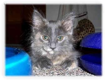 Domestic Longhair Kitten for adoption in Brighton, Michigan - Meesha