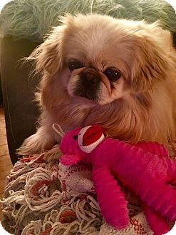 Pekingese Dog for adoption in Portland, Maine - Sophie