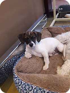 Maltese/Poodle (Miniature) Mix Puppy for adoption in LAKEWOOD, California - Cash