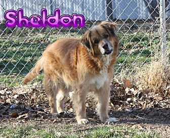 Retriever (Unknown Type) Mix Dog for adoption in Nixa, Missouri - Sheldon # 944