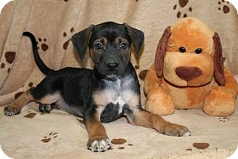 Black and Tan Coonhound Mix Puppy for adoption in Brattleboro, Vermont - Hector