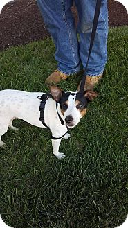 Jack Russell Terrier Dog for adoption in Bergen County, New Jersey - Moose