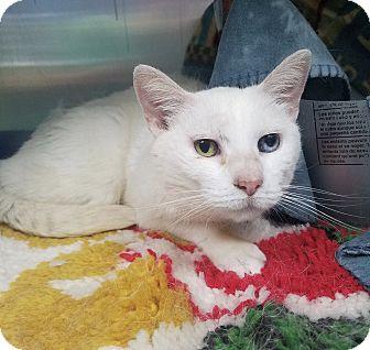 Domestic Shorthair Cat for adoption in Hendersonville, North Carolina - Magnolia