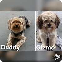 Adopt A Pet :: Buddy and Gizmo - Ft. Lauderdale, FL
