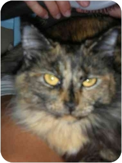 Calico Cat for adoption in Fort Lauderdale, Florida - Maddison